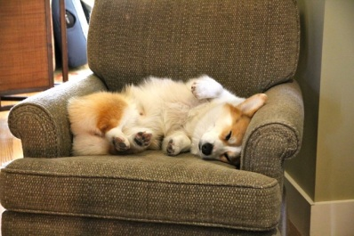 corgi-sleep-on-couch